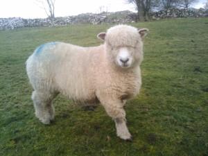 Posing Ryeland Sheep